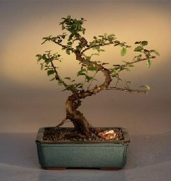 Sweet Plum Curved Trunk Bonsai Tree Large